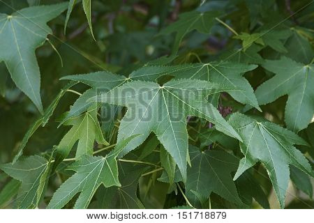 American sweetgum (Liquidambar styraciflua). Called Redgum Sweet Gum Satinwood Hazel Pine American-storax Bilsted Satin-walnut Star-leaved Gum and Alligator-wood also