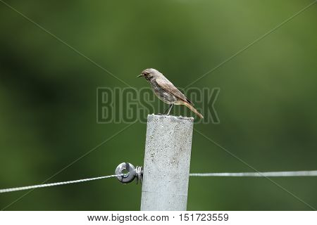 A Red-tail bird on a fence in the garden