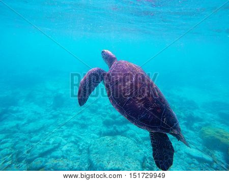 Sea turtle in blue water. Green sea turtle diving in coral reef. Sea tortoise. Green turtle swims in sea. Snorkeling with turtle in lagoon. Aquatic image of summer adventure with text place
