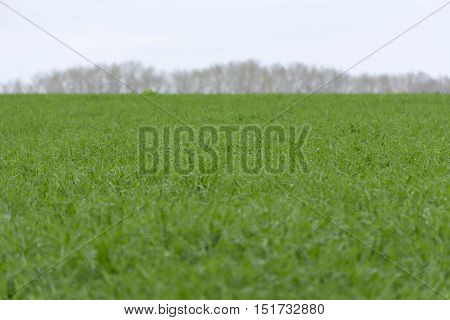 The young shoots of green wheat field with trees in the distance autumn Russia Tula region Central climatic zone of temperate continental climate