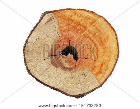Tree Branch section with Hollow Close up