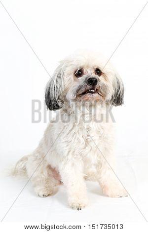 Cute fluffy white Havanese dog sitting for studio portrait on white background