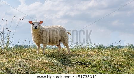 Proud posing sheep alone on the top of a dike in the Netherlands on a cloudy day in the summer season.