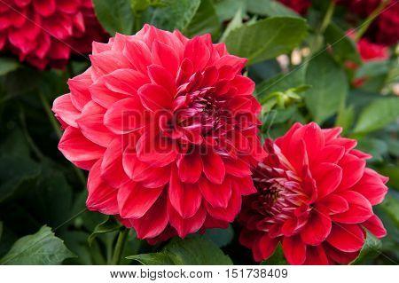 Red flower Dahlia in the garden close up