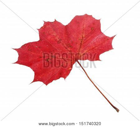 One red fallen Maple (Acer platanoides) leaf isolated on white backgrund.