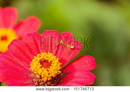 Closeup image of mantis on red flower