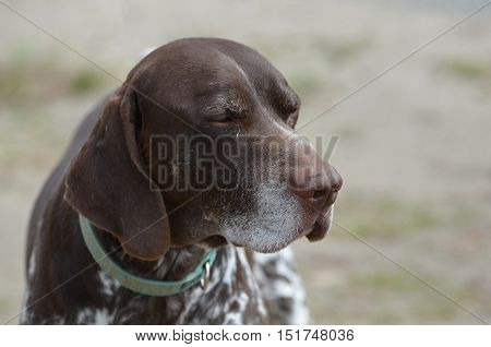 German shorthaired pointer dog with his eyes closed.