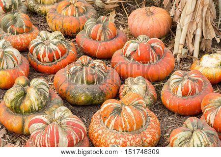 Turban Squash in a Pumpkin Patch in Northern California