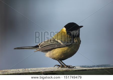 nature, animals, fauna, birds, blue tit, great tit, a family of simicevic, passerine