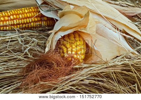 Corn on the cob with grains, stigmas and dry leaves lying on the hay. Close-up selective focus image