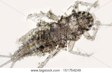 Insect Mayfly Or Shadflies Or Fishflies Nymph By Microscope, View From Below, Larva In Water
