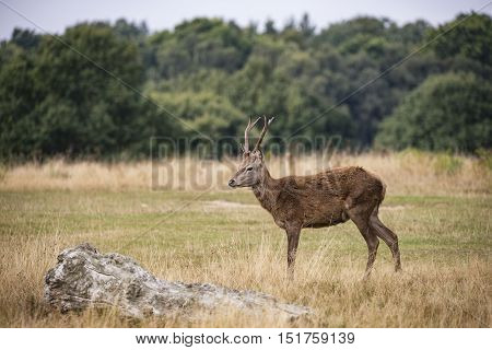 Young Red Deer Stags Cervus Elaphus In Forest Landscape During Rutting Season In Autumn Fall
