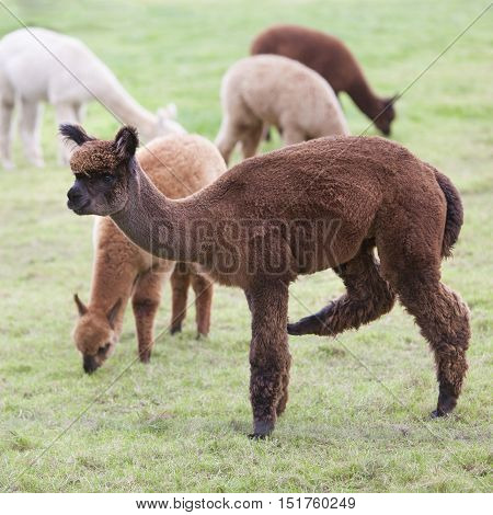 brown and white young alpaca graze in green dutch meadow