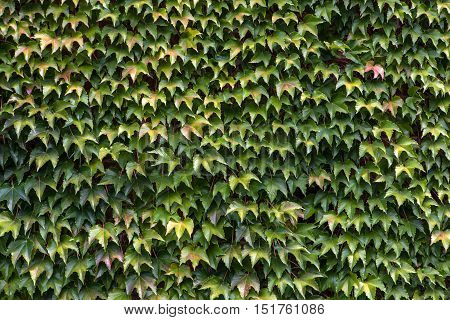 Thick Green Ivy Leaves Background