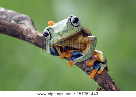 Javan tree frog, like seeing something that threatened her