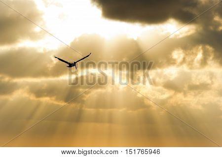 Bird silhouette flying sun rays is a single soul soaring among the golden sunbeam sky.