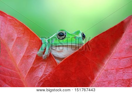 Dumpy frog, head among red leaf tree frog