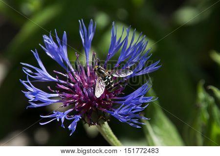 Cornflower (centaurea Cyanus) With Bee