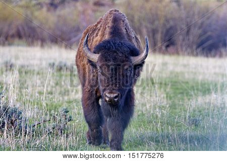 Bison strides forward at Grand Teton National Park in Wyoming United States of America.