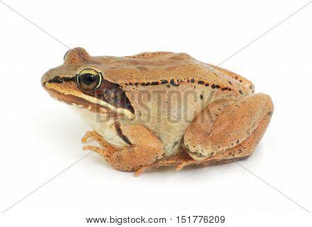 wood frog studio shot on white background isolated amphibian closeup