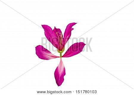 Closed up pink Bauhinia purpurea isolate flower or Butterfly Tree Orchid Tree isolated on white background.Saved with clipping path.