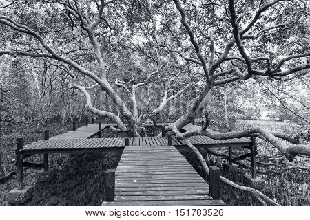 Big tree and wooden bridge at Tung Prong ThongGolden Mangrove FieldPra Sae Rayong Thailand