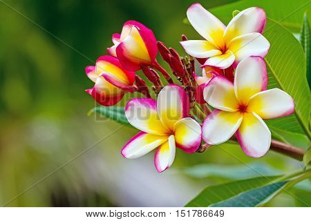 white pink and yellow Plumeria spp. (frangipani flowers Frangipani Pagoda tree or Temple tree) on natural light background
