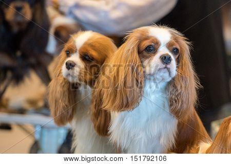Chevalier King Dog Portrait At Dog Show