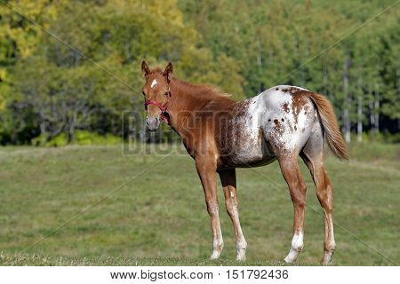 Few month old Appaloosa colt standing in meadow