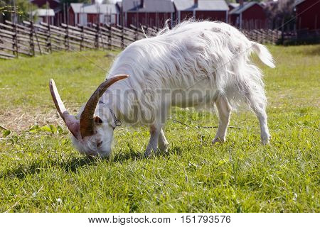 Side view of one grazing white domestic goat with long horn