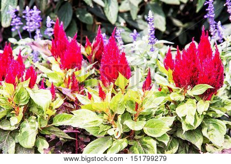 Beautiful red celosia spicata flowers in the garden. Seasonal natural scene. Beauty in nature.