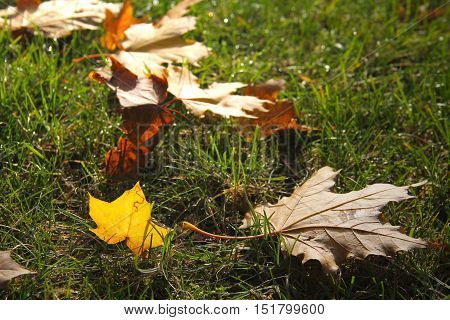 fallen colorful maple leaves in the grass enlightened with the sun