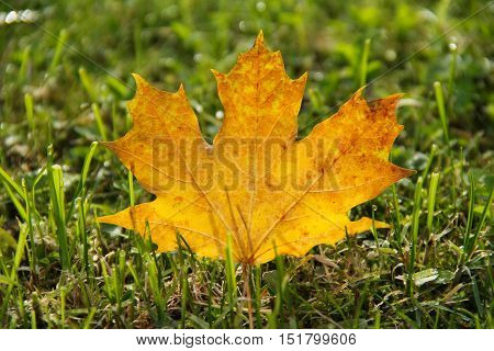 fallen yellow maple leaf in the grass enlightened with the sun