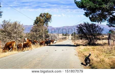 Hungry cattle grazing next to rural road