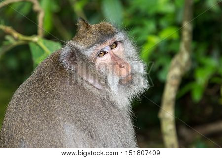 Portait of a Balinese Long-Tailed Monkey in the Ubud Monkey forest in Bali Indonesia.