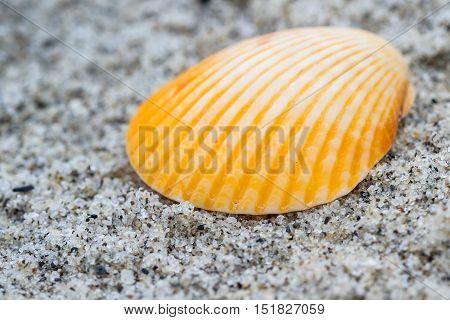 Sea Shell Macro