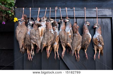 A row of pheasant carcasses hanging on a large wooden door outside the restaurant of a country pub in rural England. poster