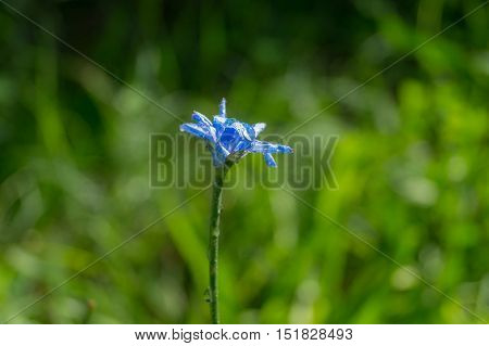 Beautiful deep blue flower. Dewdrops after rain. Macro flower