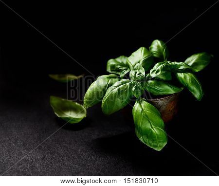 Fresh green basil leaves isolated on black background. Culinary aromatic cooking.