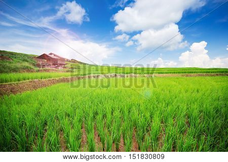 Landscape of Thai rice field with nice blue sky