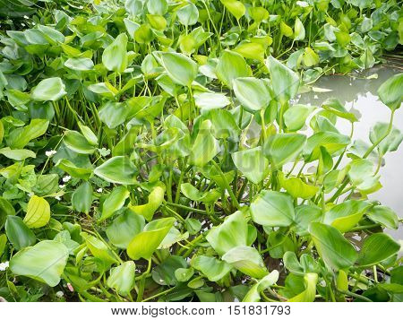 Water Hyacinth in the canal of Thailand countryside