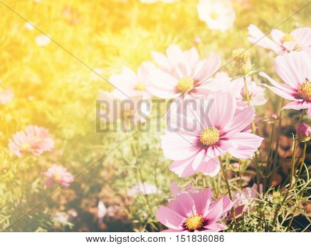 Vintage cosmos flower field with warm filter