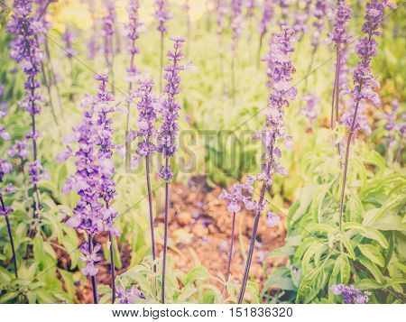 Vintage lavender flower field with warm filter
