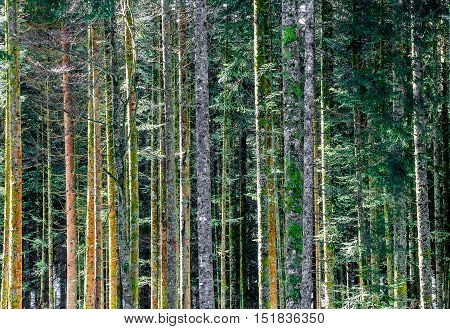 Close Up On A Multitude Of Trees In The Forest Of The Vosges, France