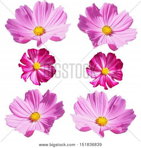 Pink Cosmos flower isolation on white background