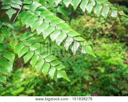 Green Adiantum fern (maidenhair fern) in the forest