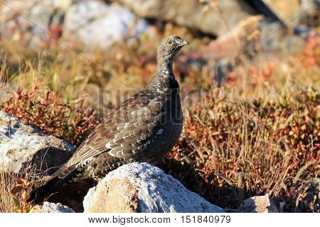 A Dusky Grouse in a rocky field
