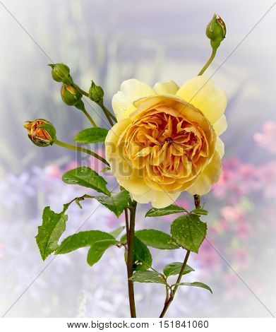 View of a yellow rose on a diffused background