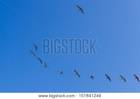 brown pelicans flying in formation with a blue sky in the background