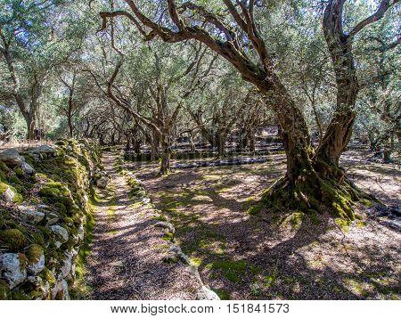 Krini olive grove on Corfu greek island